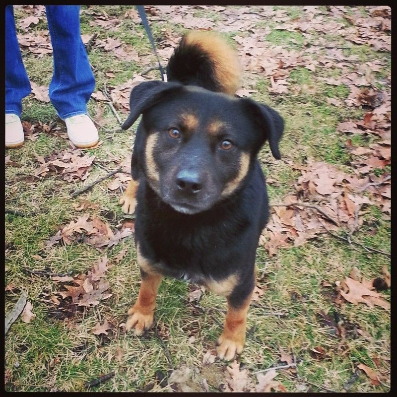 Adopt 20 Sherman 1 Adopted On Rottweiler Mix German