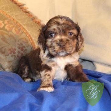 Puppies For Sale California Cocker Spaniel Breeders Cocker Spaniel Breeders Puppies Cute Puppies