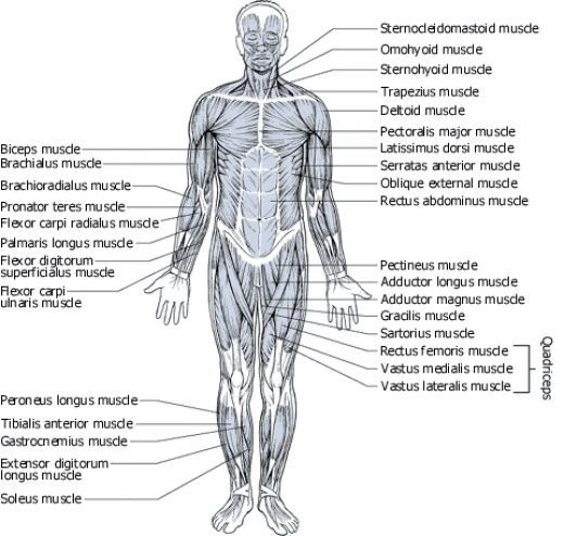 muscles diagrams: diagram of muscles and anatomy charts | muscle, Muscles