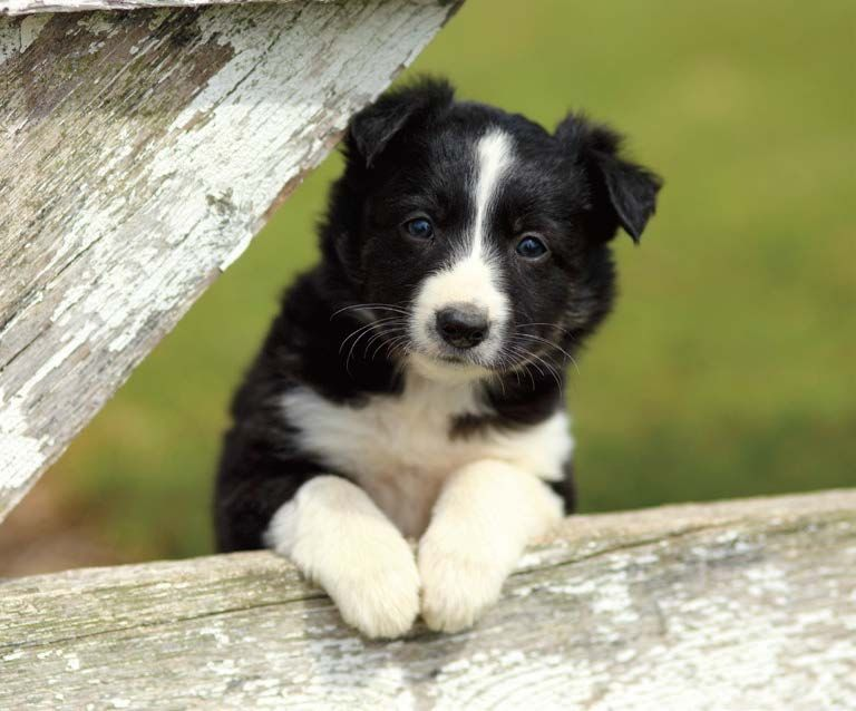 National Puppy Day Raises Awareness Collie Puppies Sheep Dog Puppy Healthiest Dog Breeds