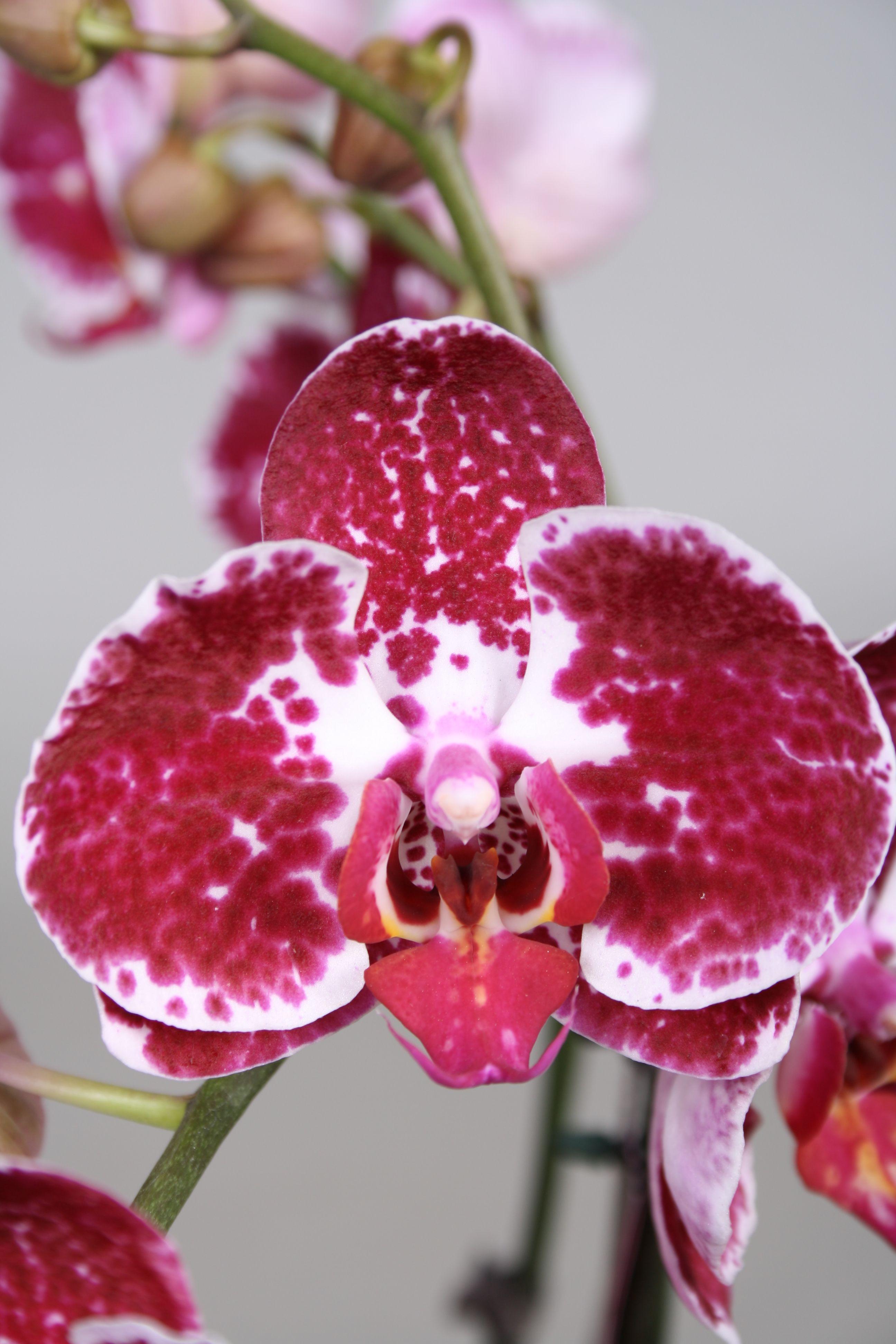 орхидея джулия фото всё сделала инструкции