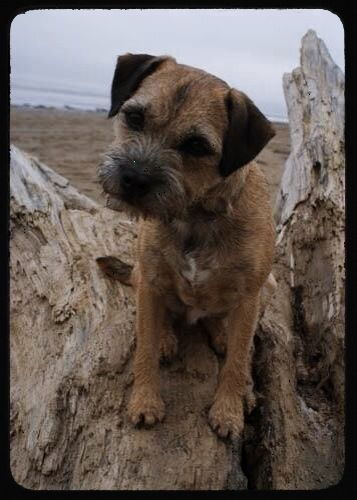 My Rehomed Border Terrier From Border Terrier Welfare Beloved