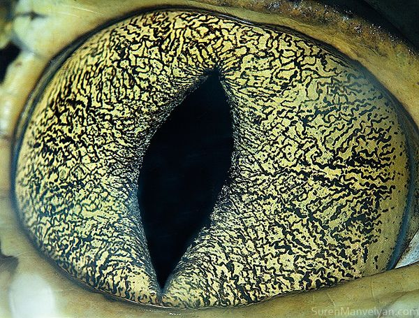 Caiman eye The reason for this brilliant gaze is that the reptiles have tiny crystals in their retinas.