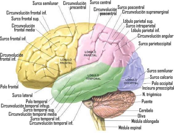 Cerebro.jpg (565×432)