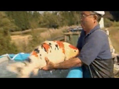 Giant koi carp huge large big fish kohaku showa bekko for Biggest koi fish