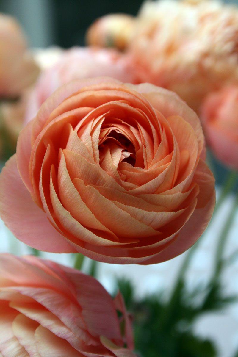 Ranunculus (white, pale pink, salmon, bright pink, yellow, orange, burgundy)