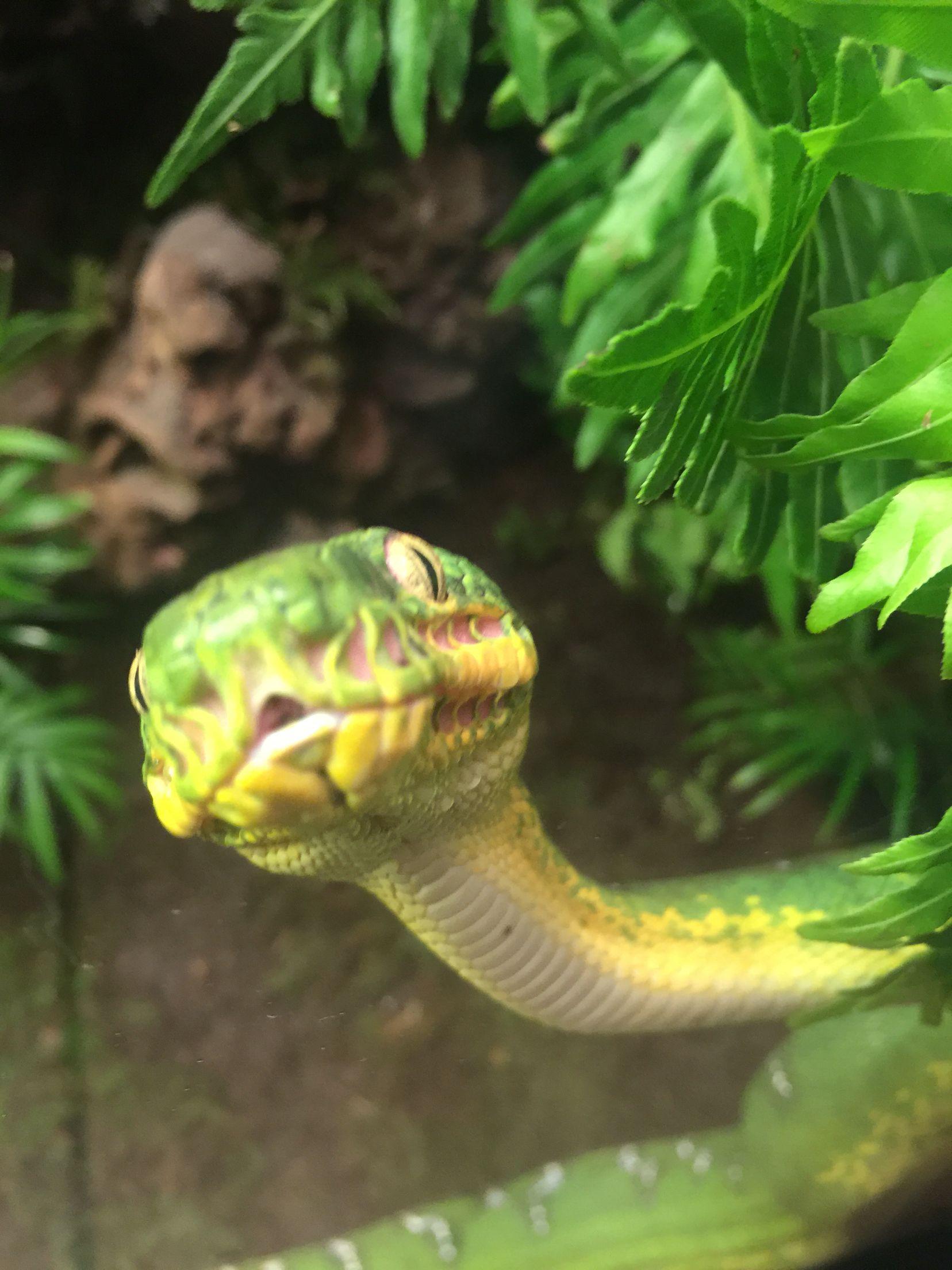 Amazon Basin emerald tree boa | Corallus Caninus (Emerald Tree Boa ...