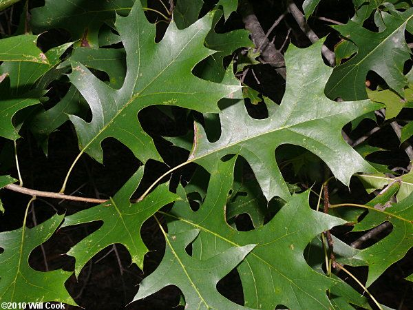 Pin Oak Quercus Palustris Plants Plant Leaves Leaf Projects