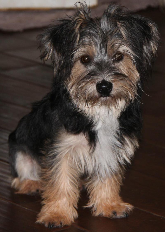 Adopt Dandy On Yorkie Mix Yorkie Puppy Haircuts Adoptable Dachshund Dog