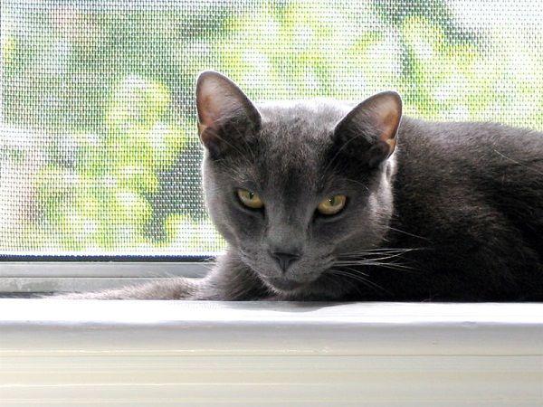 Mesopotamian Blue Cat Breed Size Pets Blog Russian Blue Russian Blue Cat Cat Breeds