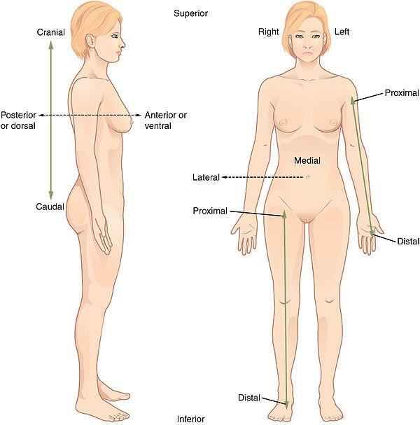 Anatomical Terminology Terminogy Pinterest