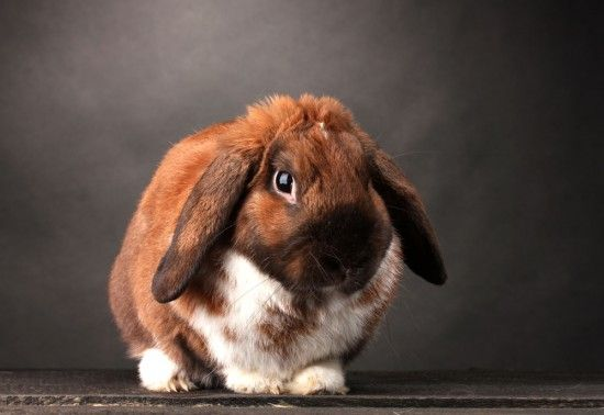 How To Look After A Lop Eared Rabbit Pets4homes Rabbit Animals Beautiful Animal Rescue Center