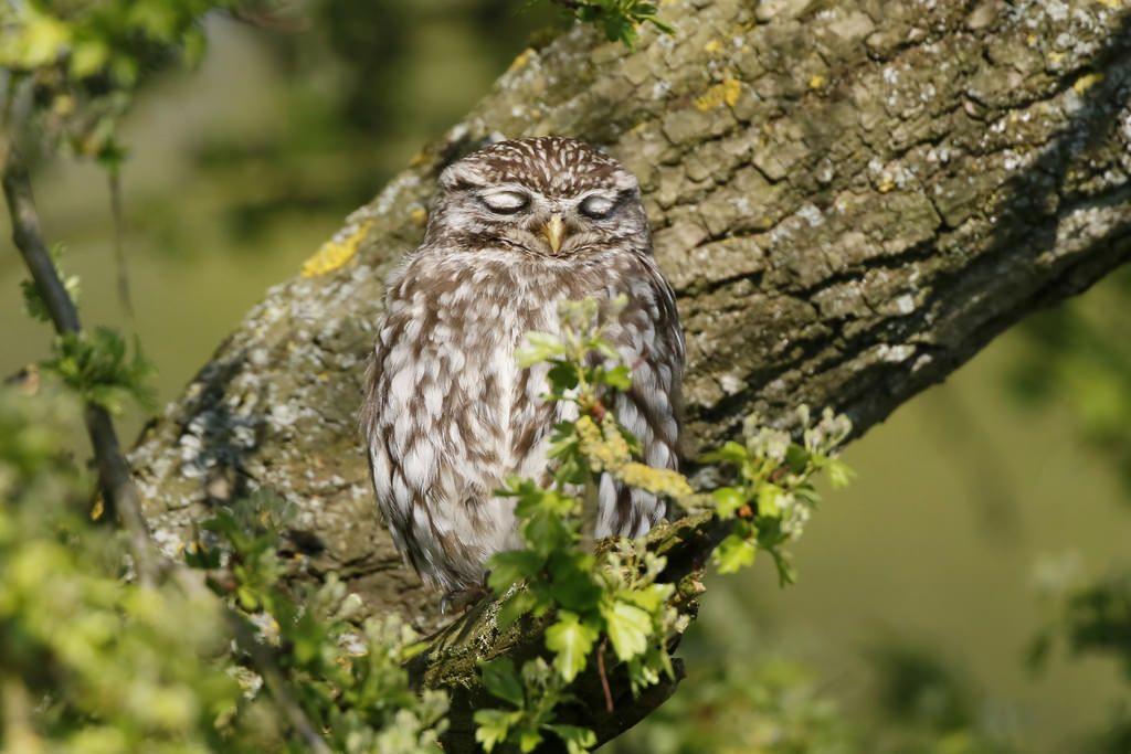 Sleeping Owl   Owl, Sleep, Bird