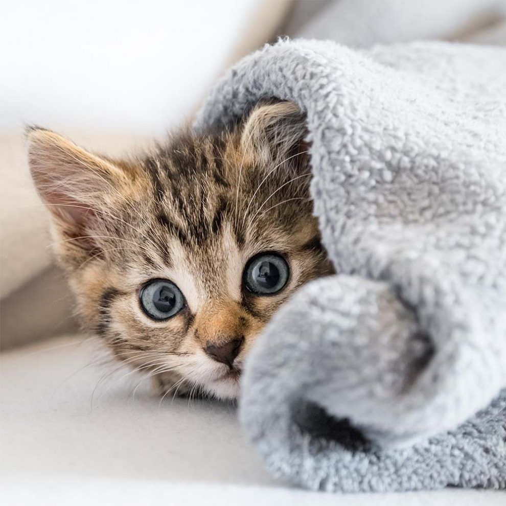 Meet Your Favorite Kittens For Sale Near Me Pure Love