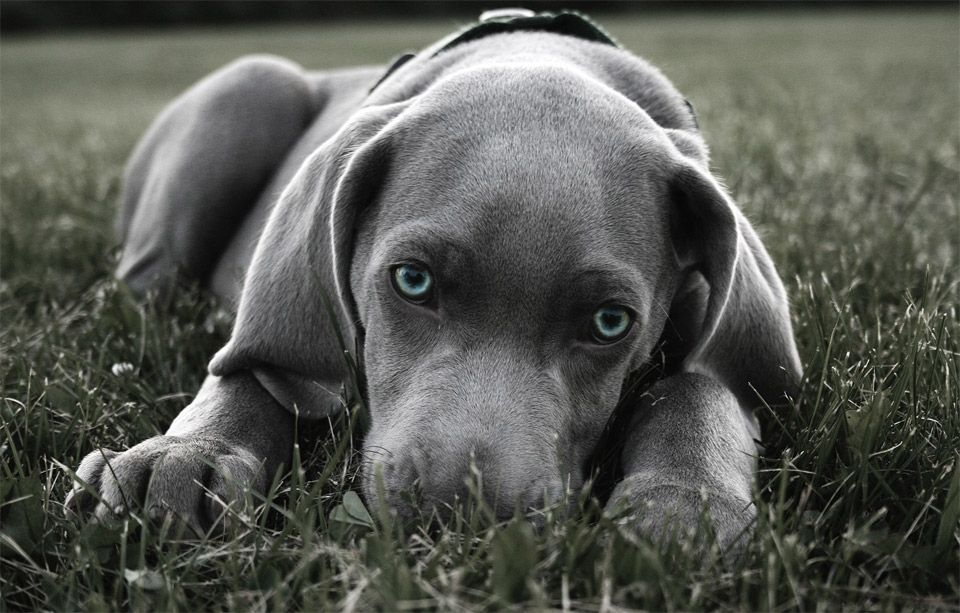 Blue Eyed Weimaraner Puppy Weimaraner Puppies Blue Weimaraner Baby Dogs