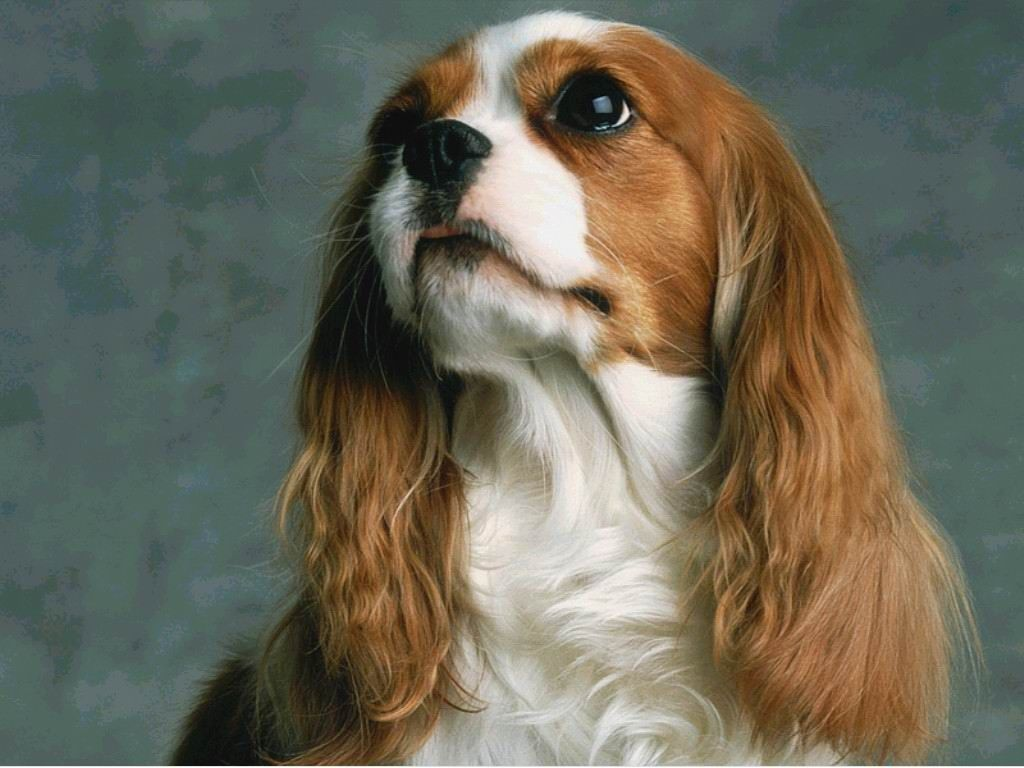Fantastic Charles Spaniel Brown Adorable Dog - bdbd3355fecd0c83448217074915a848  Pictures_285662  .jpg