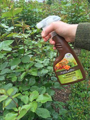 10 Bio-Tipps für gesunde Rosen #kräutergartendesign