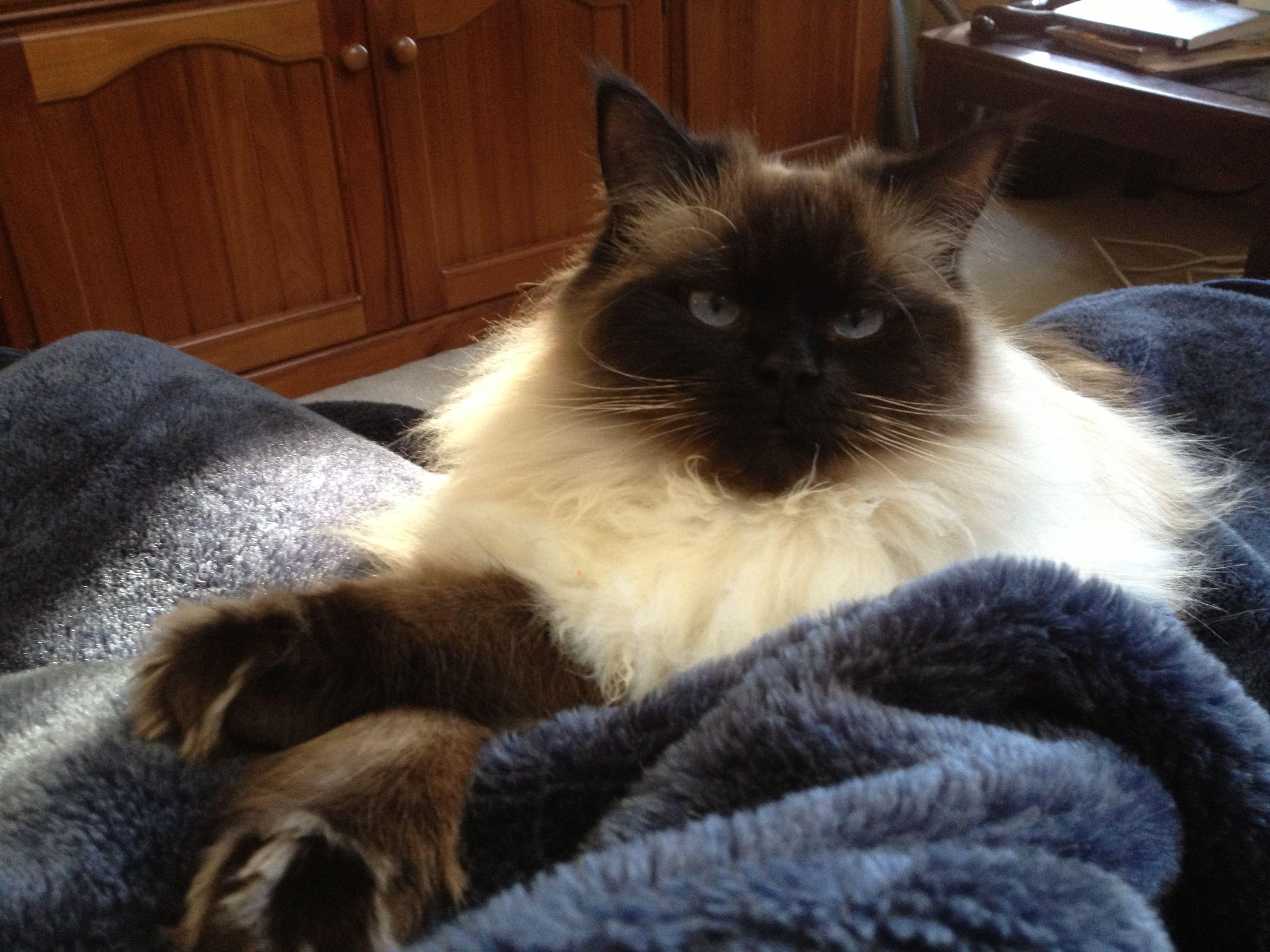 My Himalayan Cat Mr Jinx Himalayan Cat Cats And Kittens Beautiful Cats