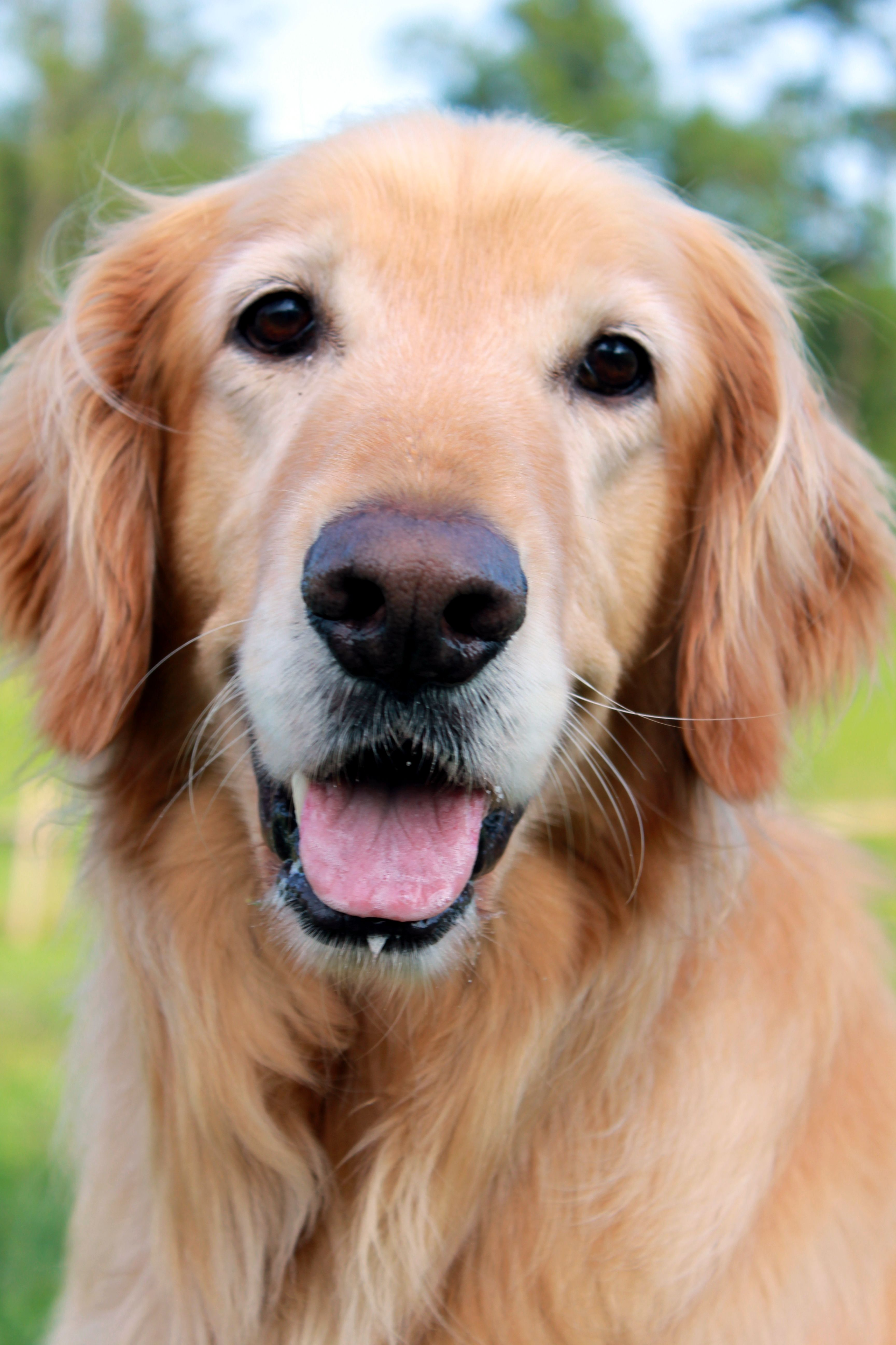 Goldens will always hold a special place in my heart. A place that melts often due to their cuteness.