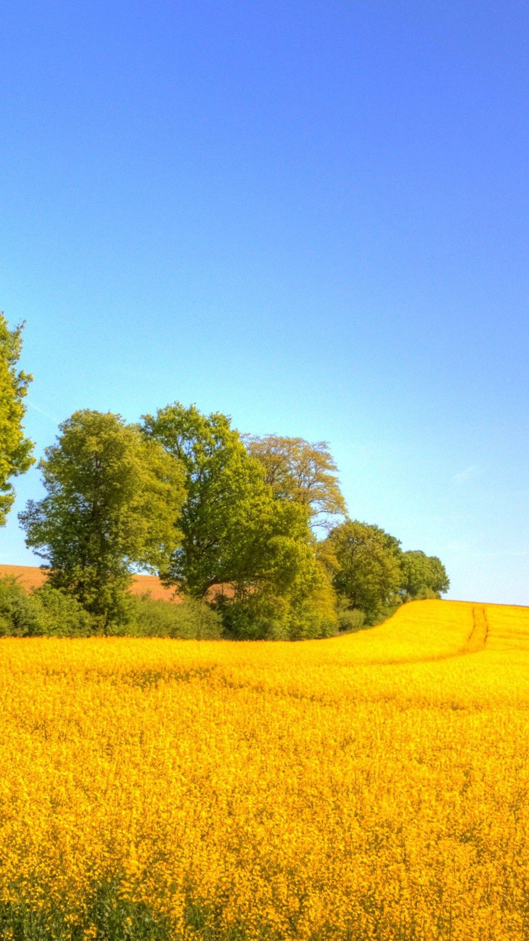 Wallpaper iphone hujan - Nice Rapeseed Golden Field Iphone 6 Plus Wallpaper