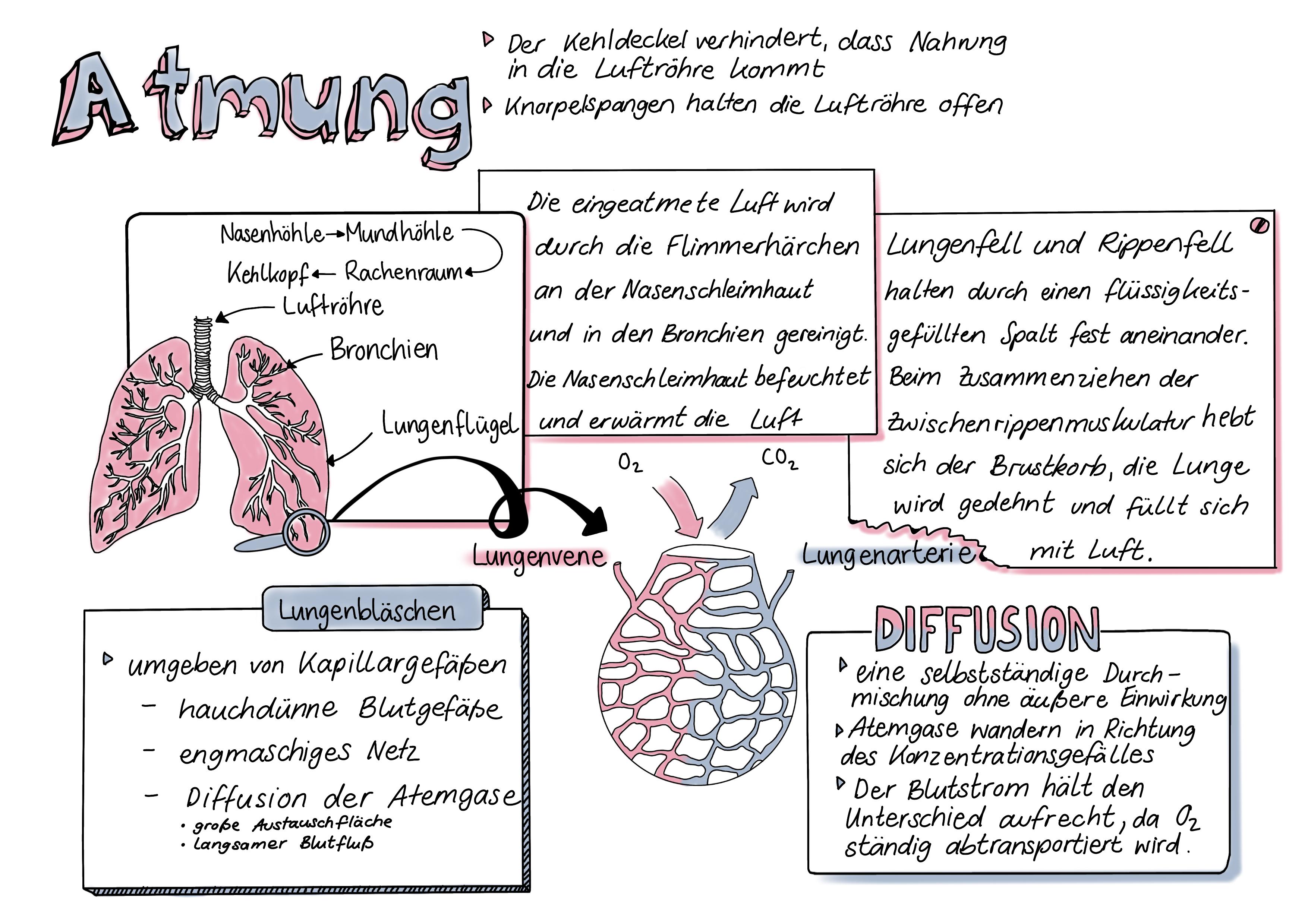 Atmung Sketchnote