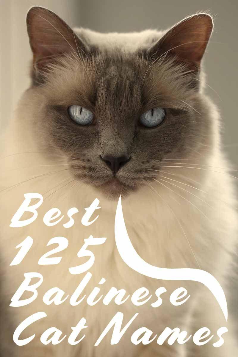 Best 125 Balinese Cat Names Naming Your Cat Balinese Cat Cat Names Cat Facts