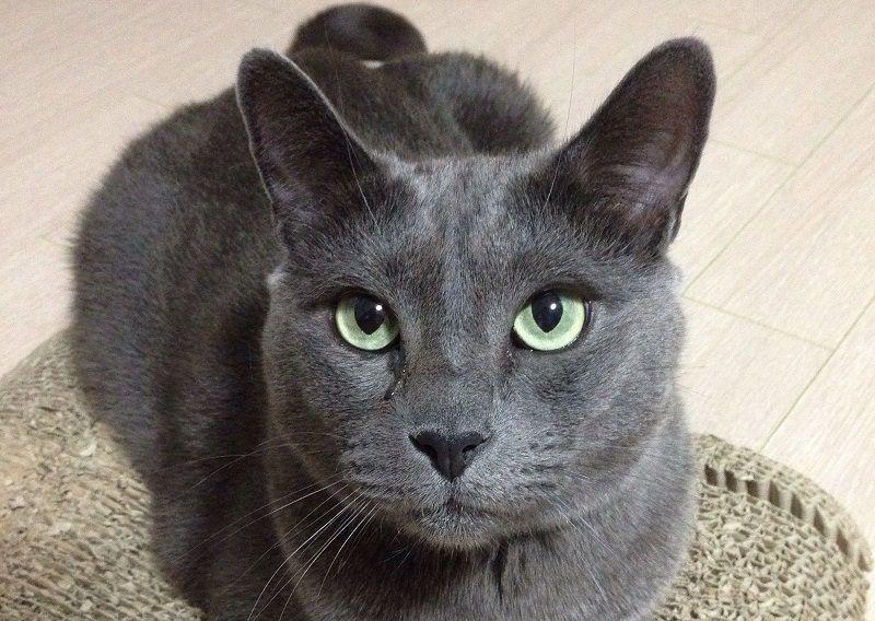 180 Best Russian Blue Cat Names Blue Cats Russian Blue Russian Blue Cat