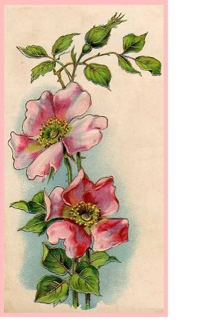 All sizes | French Wild Rose | Flickr - Photo Sharing!