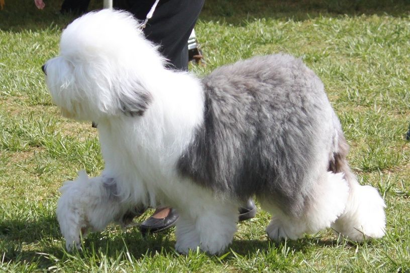Old English Sheepdog Dog Breed