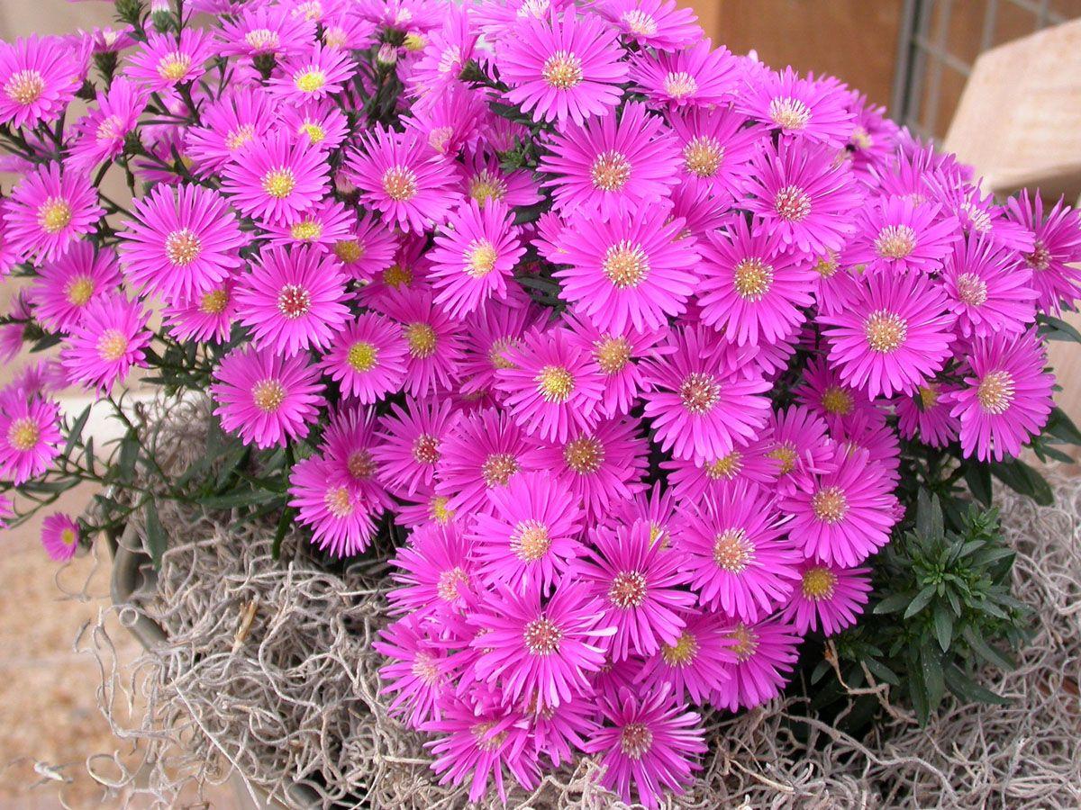 Isu Extension News Release Aster Flower Deer Resistant Plants Spring Plants