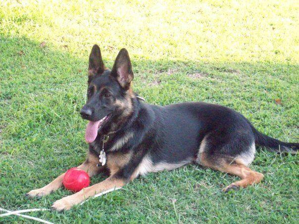 German Shepherd Dog Breed Standards