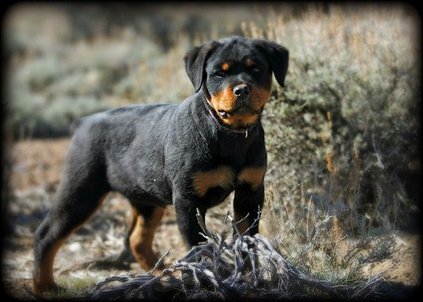 Rottweiler Puppies For Sale In Georgia Zoe Fans Blog