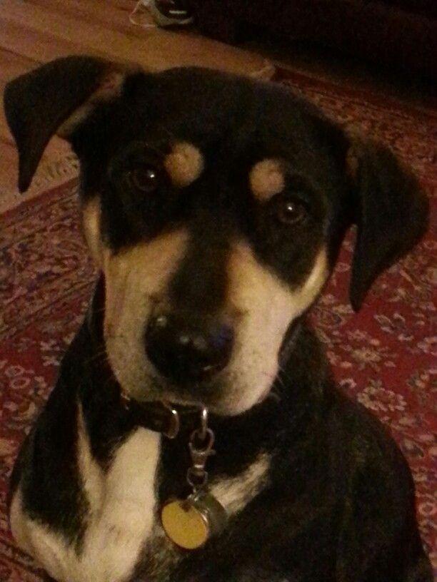 Our Shar Pei Doberman Mix I Call Her A Shardobie Dogs