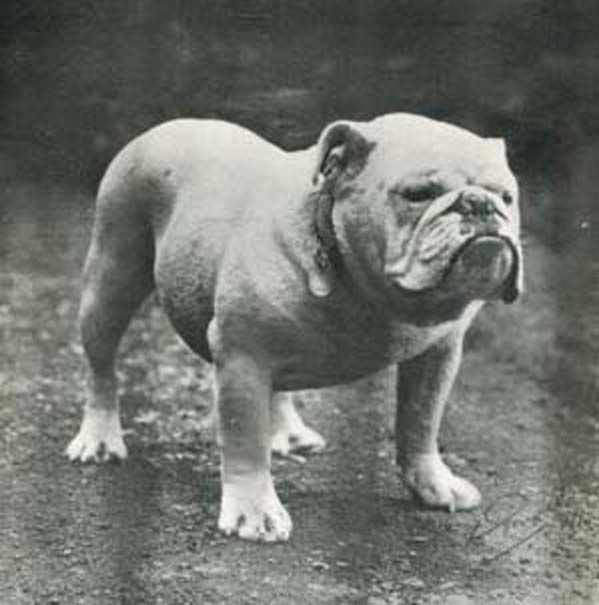 History English Bulldog Puppies Bully Dog British Bulldog