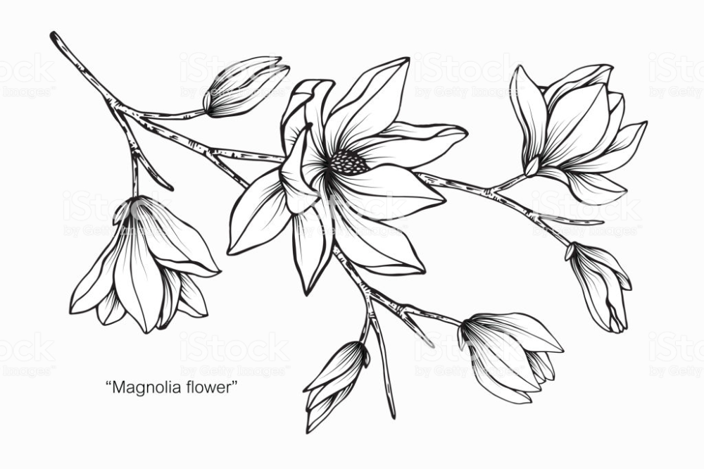 Magnolia Flower Drawing Illustration Black And White With Line Art Flower Drawing Black And White Drawing Flower Drawing Design