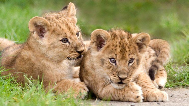 Cute baby lion cubs  animals  Pinterest  Baby lions Lion cub