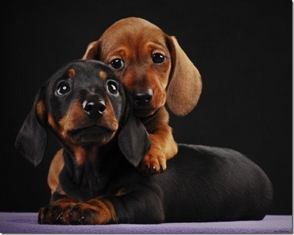 4 09 Am And Inspired Pandas Puppies More Dachshund Puppies