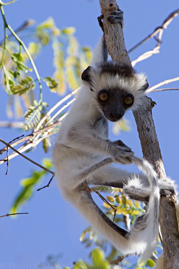 Baby Verreaux's Sifaka, Kirindy Forest - Madagascar. See more on http://facebook.com/giovanni.mari.photography