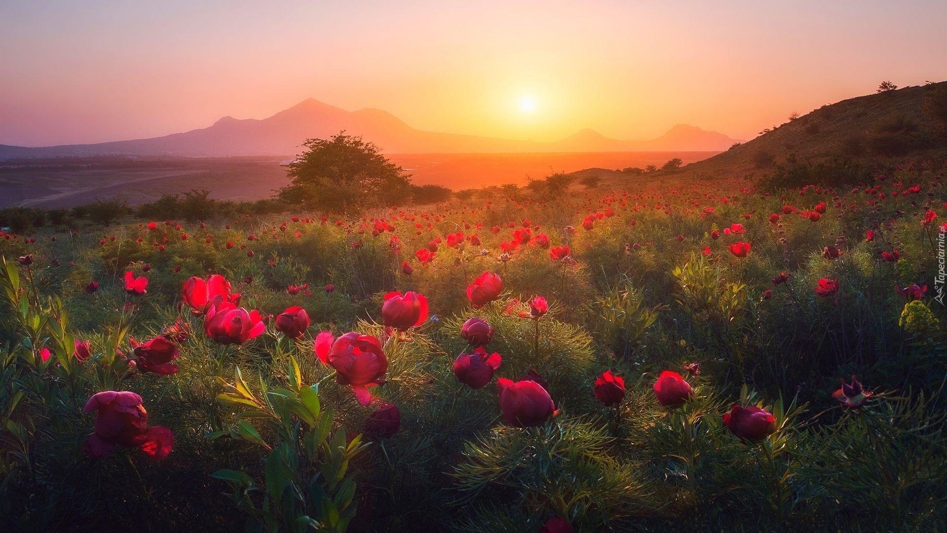 Zachod Slonca Gory Pole Drzewo Kwiaty Piwonie Laka Piekne Tapety Na Twoj Pulpit Landscape Photography Landscape Landscaping Jobs