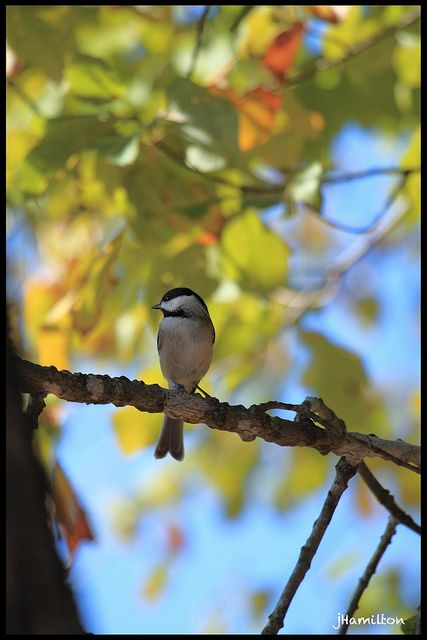 Carolina Chickadee on an Autumn day.   Want to learn How to build design