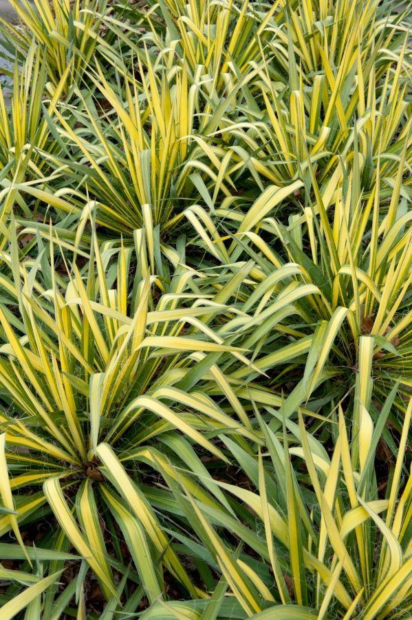 'Golden Sword' Adam's Needle (Yucca filamentosa 'Golden Sword')