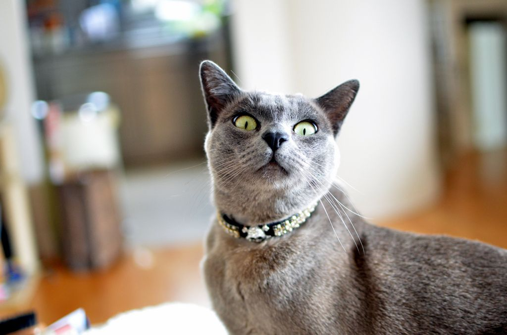 Panthro The Blue Burmese Cat Burmese Cat Burmese Kittens Cat Lover Quote