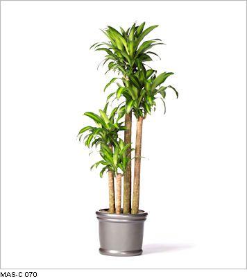 Indoor plant dragon tree | Grow | Pinterest | Indoor, Low lights ...