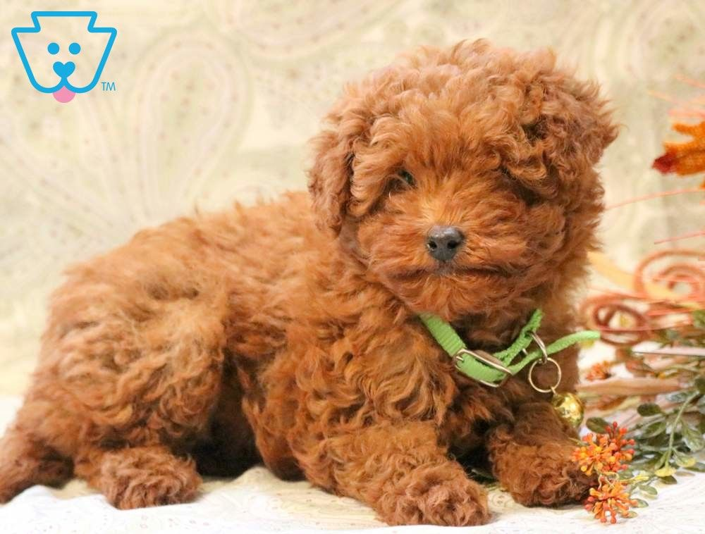 Star Poodle Mini Puppy For Sale Keystone Puppies Mini Puppies Mini Poodle Puppy Poodle Puppy