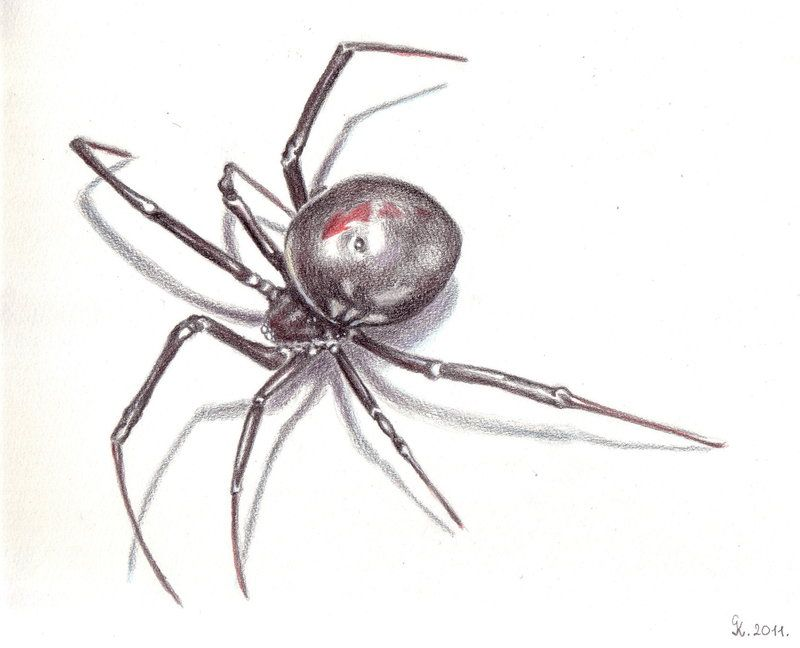 Black widow spider drawing in pencil