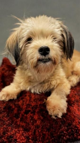 Terrier,+Shih+Tzu+Dog+For+Adoption+In+Seattle Dogs