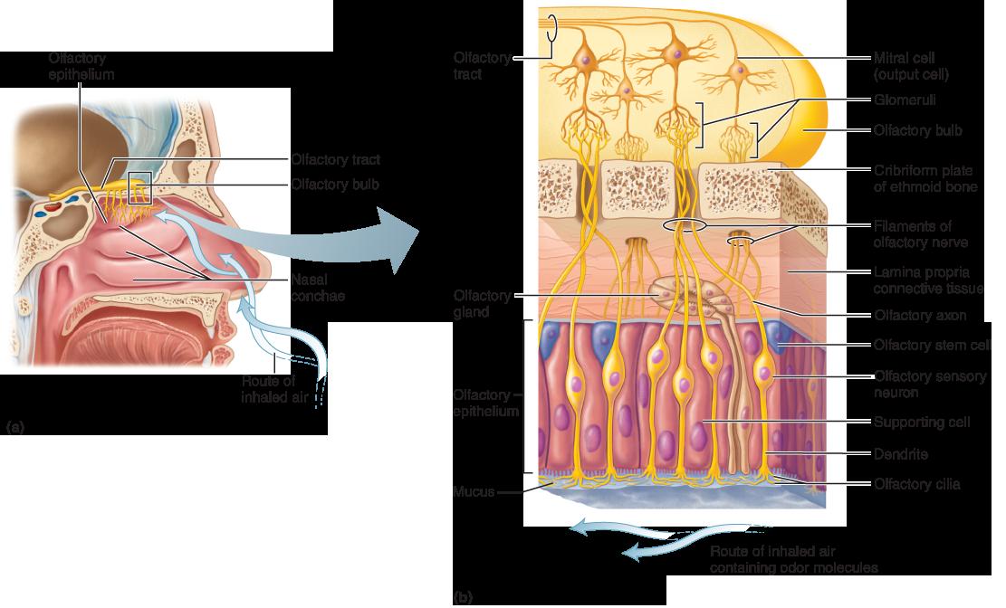 The Chemical Senses Taste And Smell Anatomy Pinterest