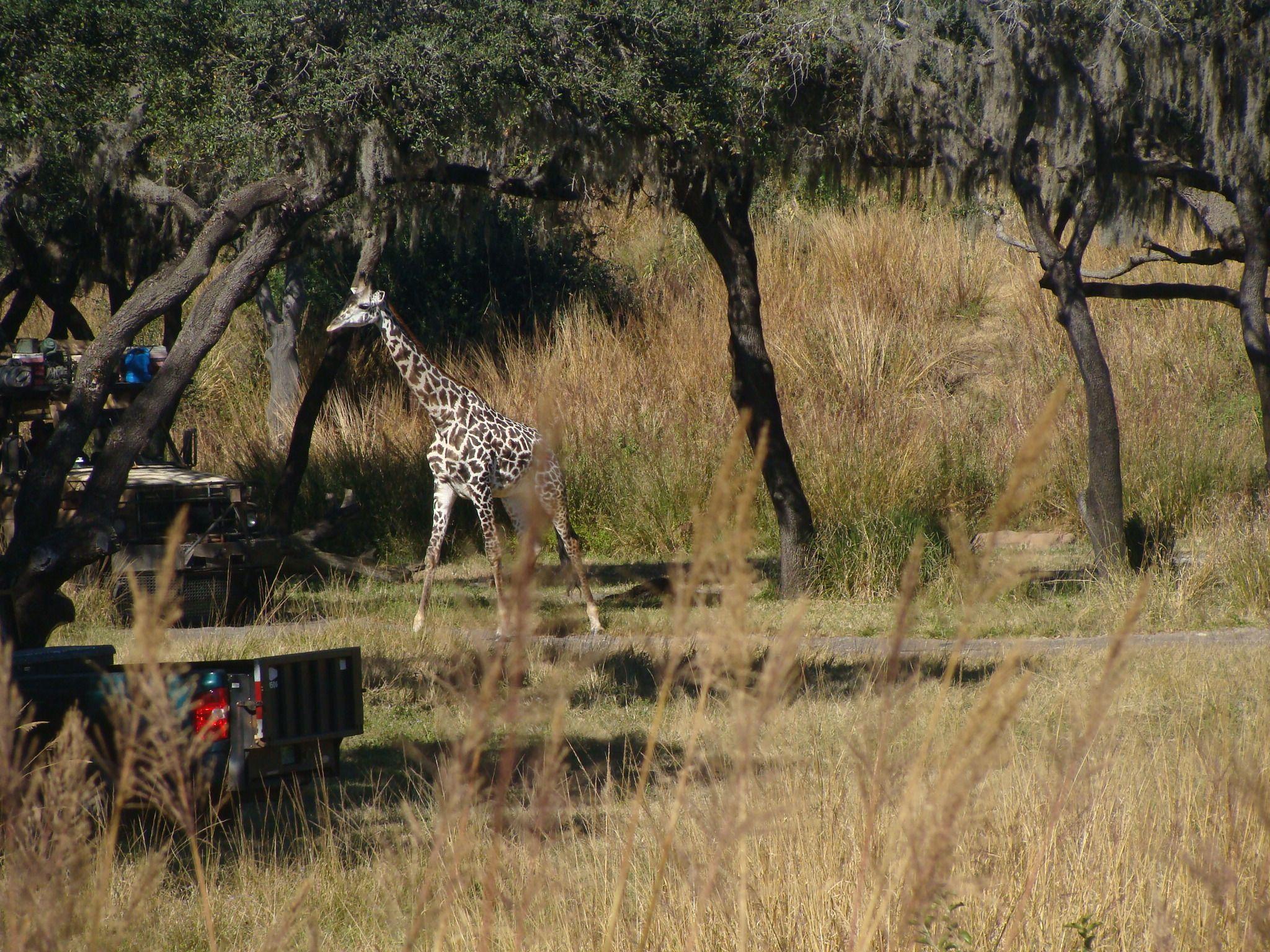 Giraffe on the savannah