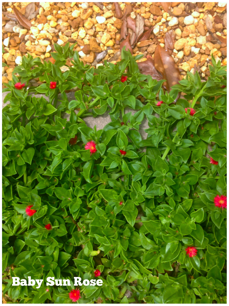 Baby Sun Rose A Modest Little Succulent Ground Cover That 400 x 300
