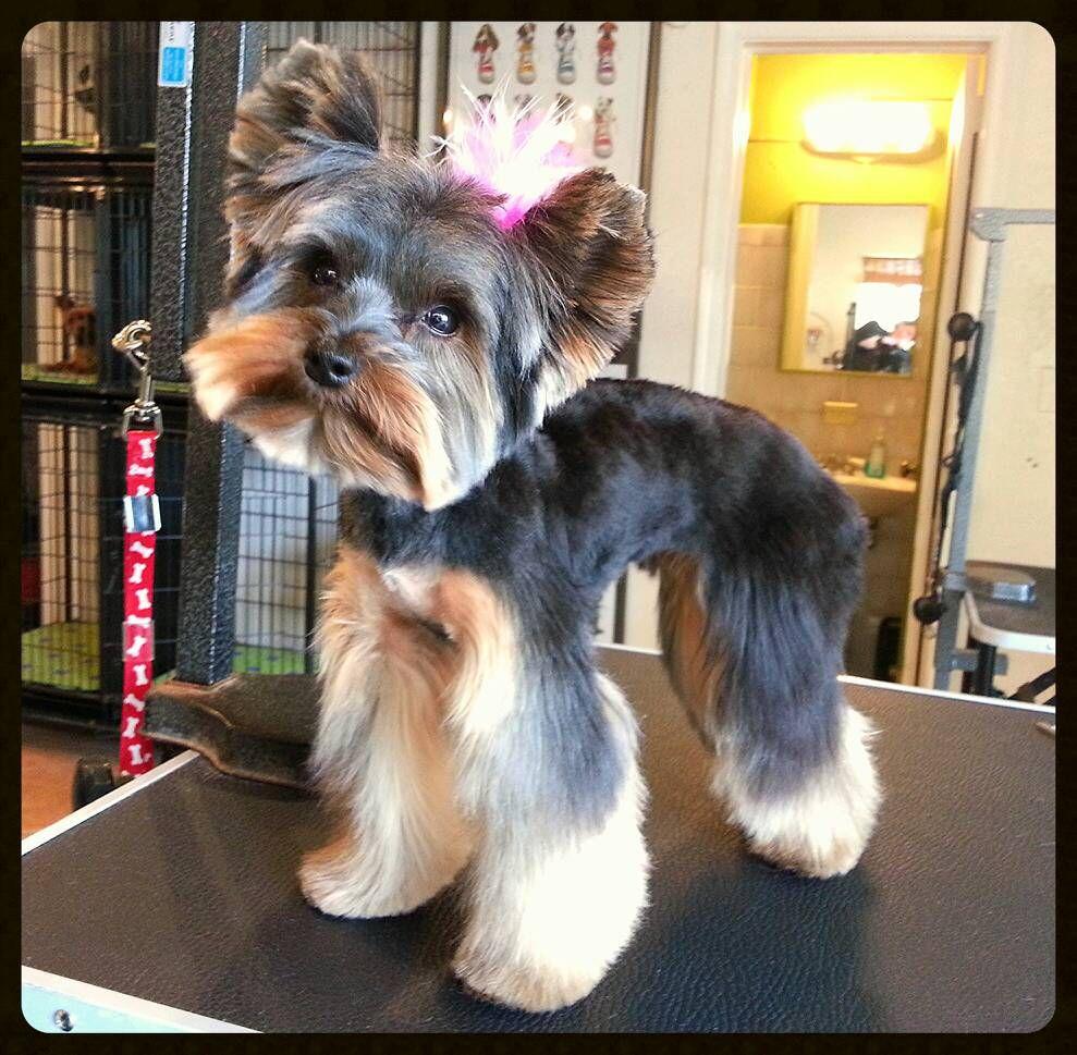 Yorkie hairstyles short hairstyle haircuts - Yorkie Haircut Bella The Yorkie Wow So Skinny Cute Teddy Bear Face